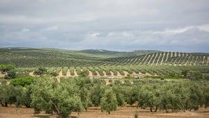 Piantagione di ulivi di Jaén in Andalusia.